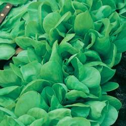 Bustina semi di Lattuga da taglio o a Foglia Liscia - Sementi DOTTO 166