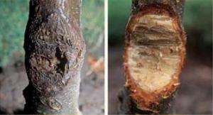 gli alberi con il cancro